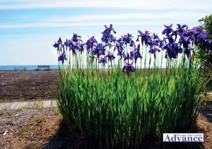 2516-iris